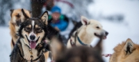 Trineo jalado por perros