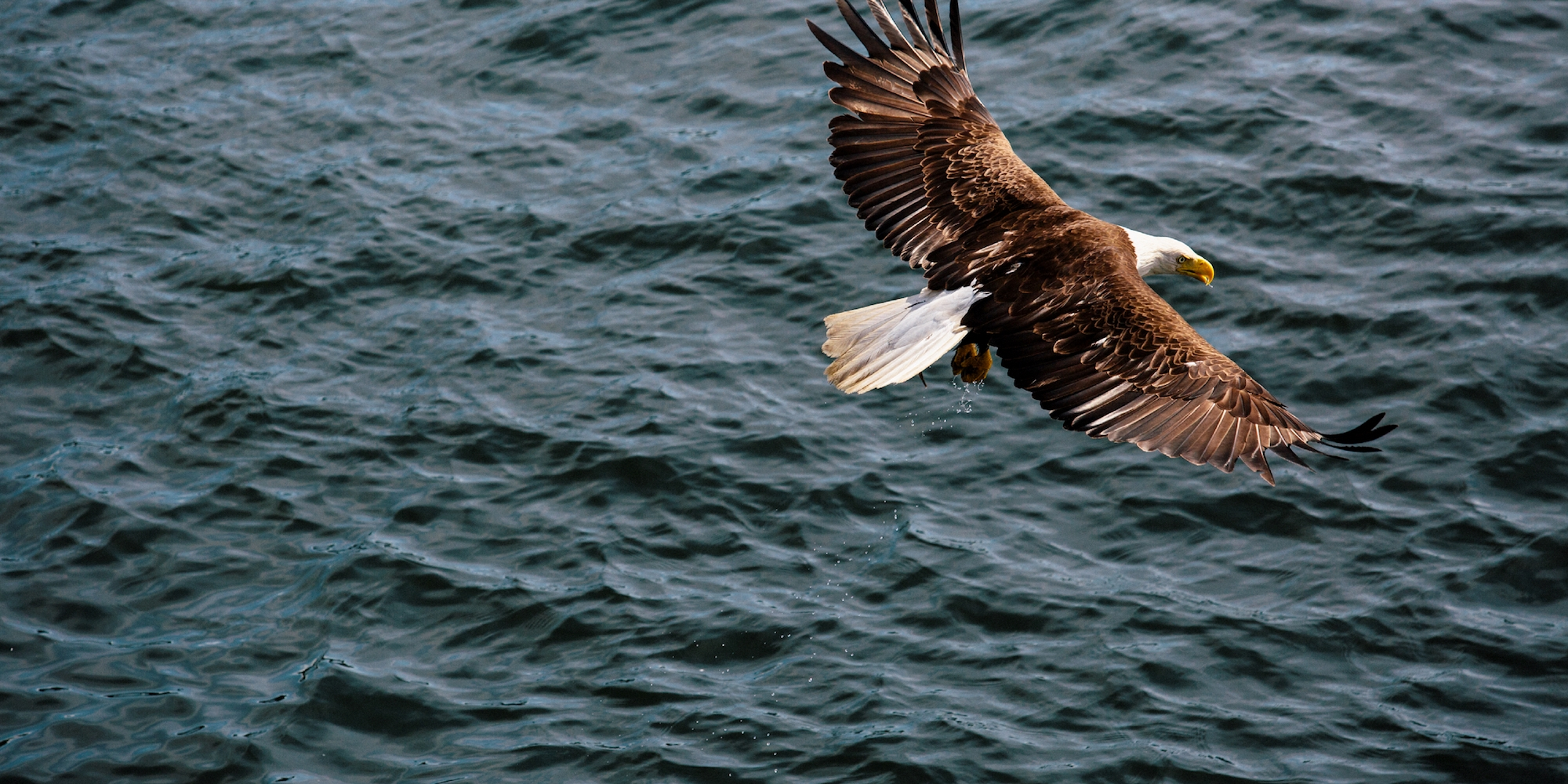 An eagle flying over the water