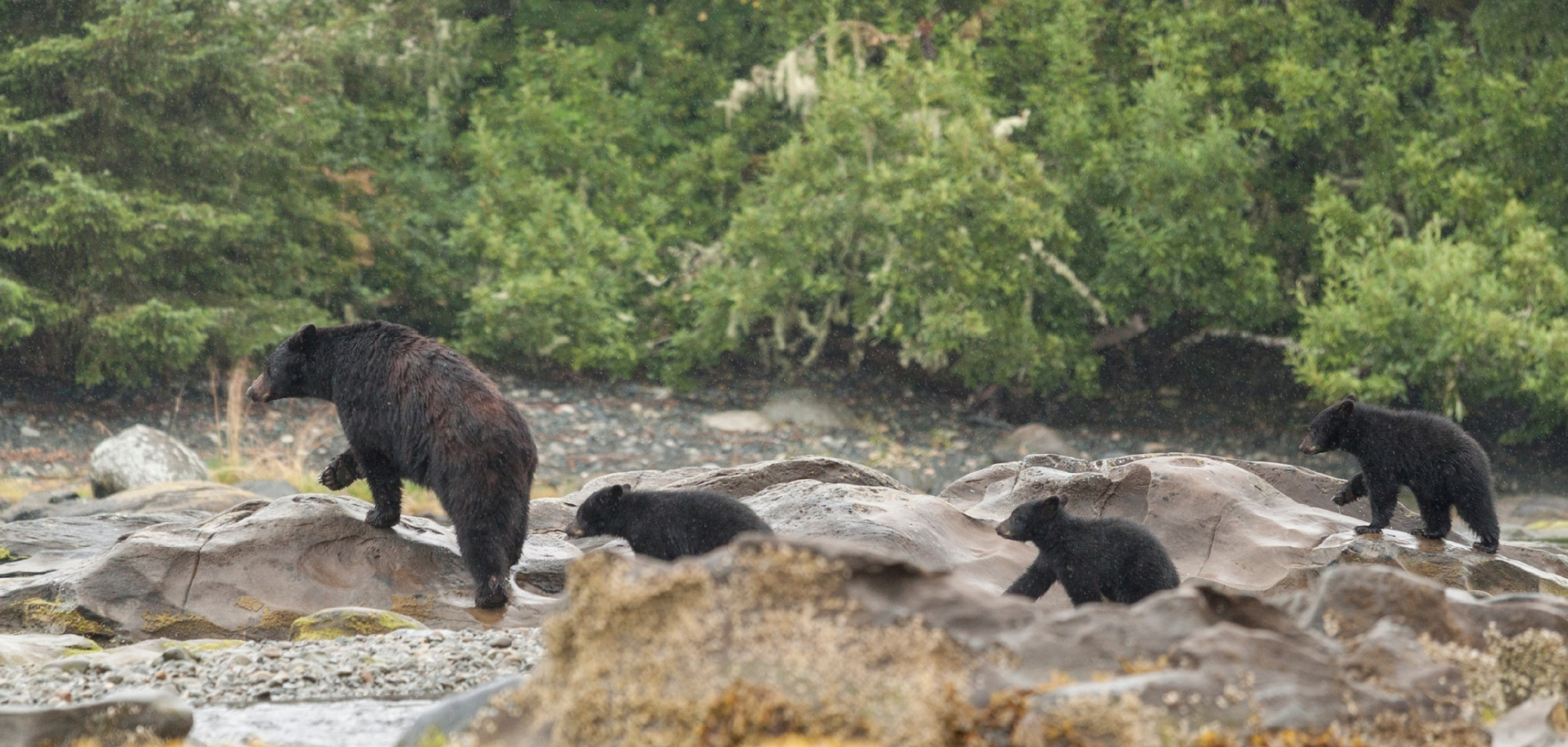 A family of grizzly bears walking through a river