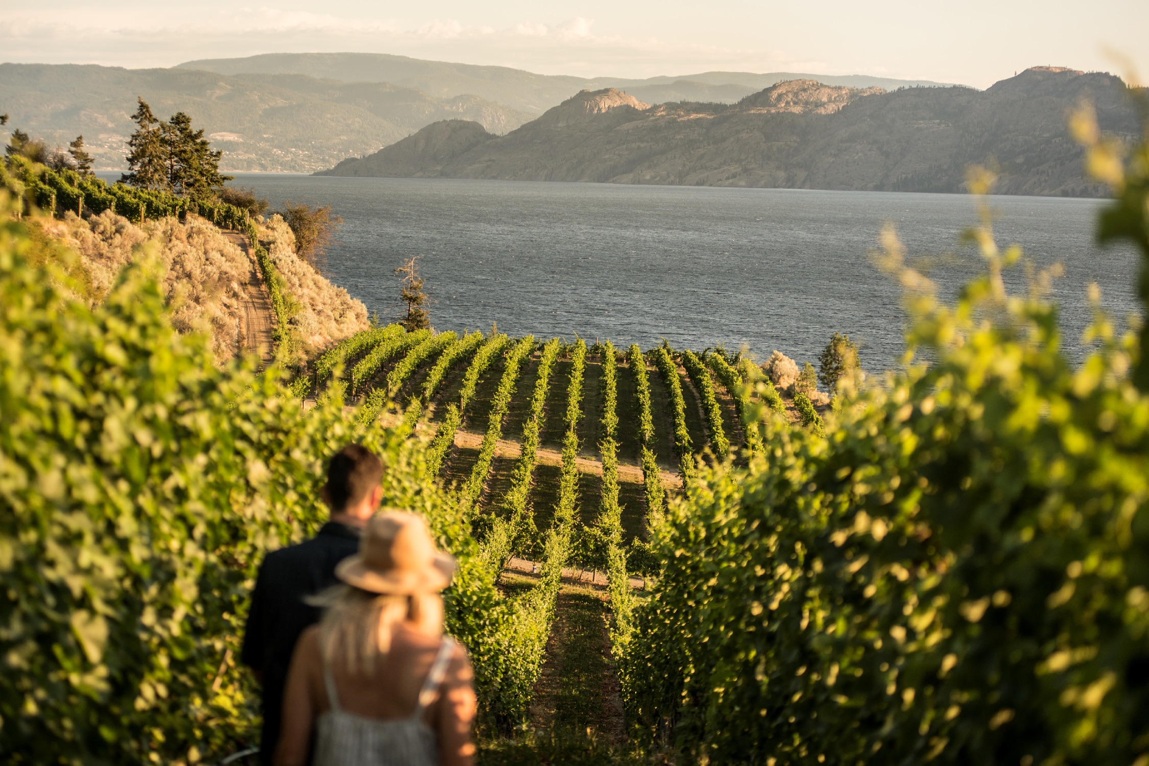 A young couple walks in the Evolve Cellars vineyard overlooking Okanagan Lake in Summerland, BC.